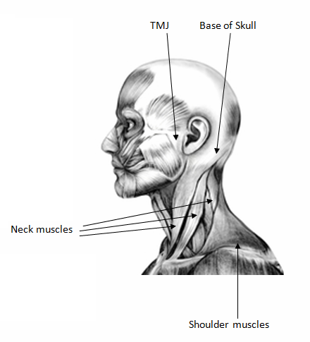 neck-muscles